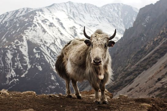 640px-Bos_grunniens_at_Letdar_on_Annapurna_Circuit