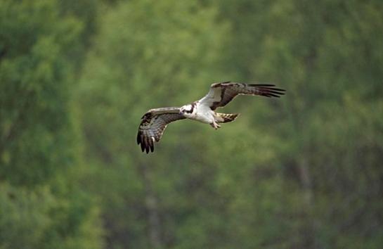 sat-nav-ospreys-tracked-scotland-destination-africa_318